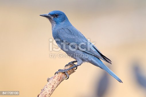 An adult Pinyon Jay (Gymnorhinus cyanocephalus) at a feeding station in central Oregon. The Pinyon Jay is an odd, crow-like jay that travels about in nomadic flocks of up to 250 birds in response to the availability of its primary food, the seeds of various pinyon pines.  They also consume berries and other seeds. The Pinyon Jay has been listed as Vulnerable on the IUCN Red List because of extensive conversion of pinyon-juniper habitat to grazing land.