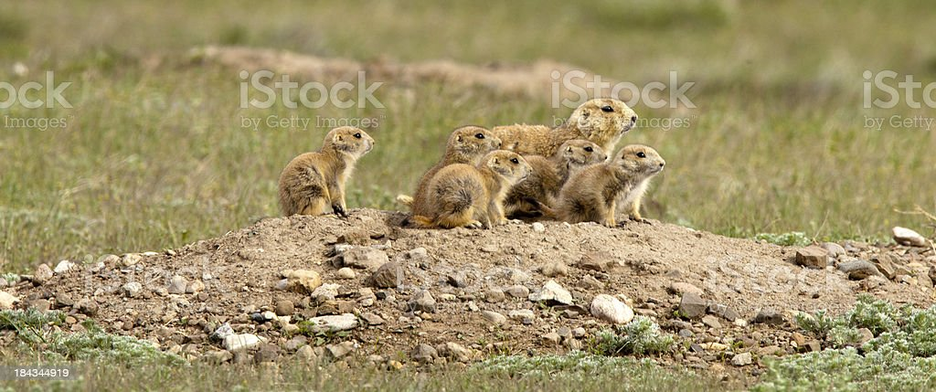 Adult Prairie dog with  young stock photo