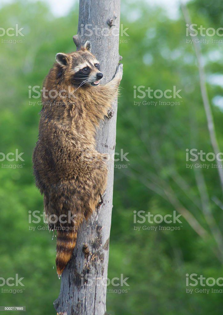 Adult raccoon climbing a tree. stock photo