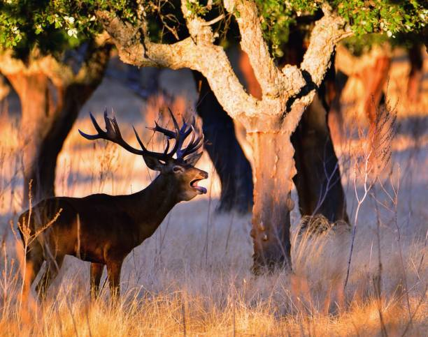 Adult red deer stag. stock photo