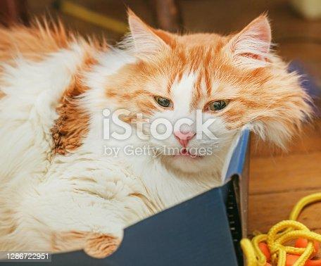 Pretty adult red pensive cat in blue box in nirvana