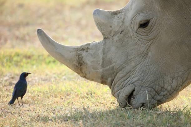 Adult rhino stock photo