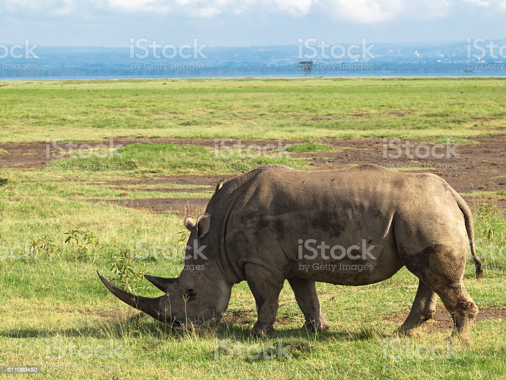 Adult rhino with two big horns grazing in field stock photo