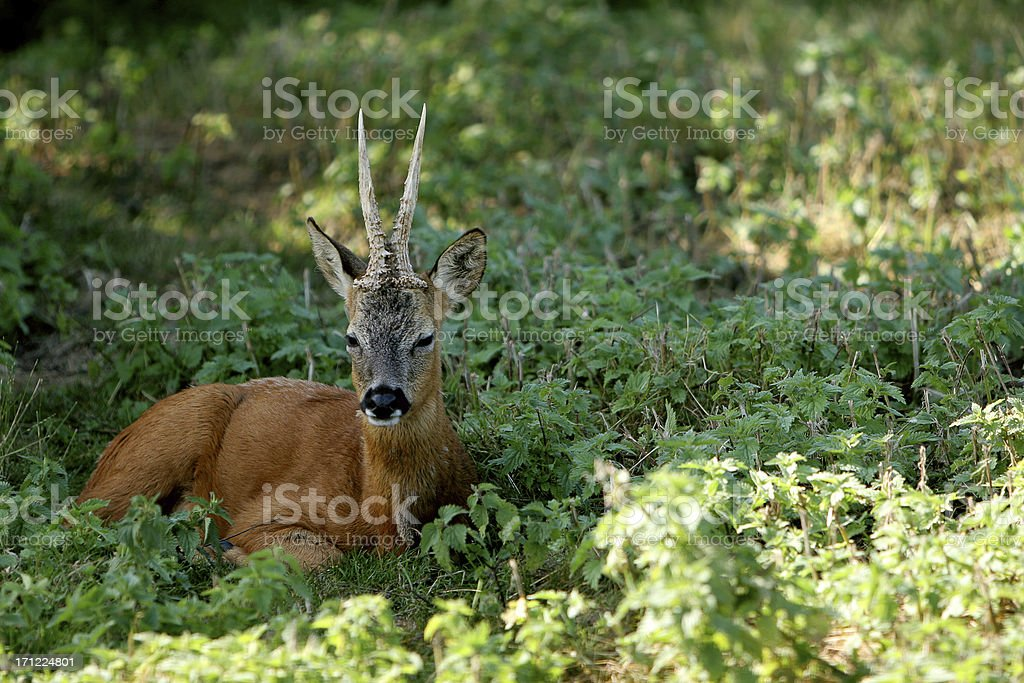 Adult Roe Deer laying on grass royalty-free stock photo
