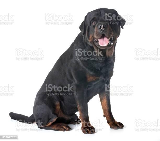 Adult rottweiler picture id952077772?b=1&k=6&m=952077772&s=612x612&h=fr0jkj1wapegoa zzpvj07bhz14qb3qa3yvmcqdr2ug=