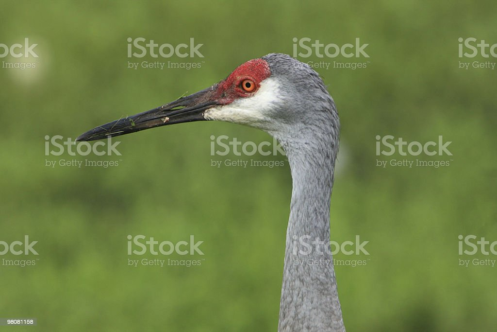 Adult Sandhill Crane (Close-up) royalty-free stock photo