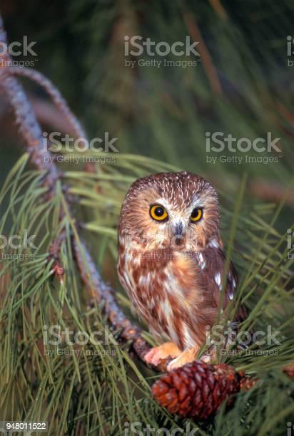 Adult saw whet owl picture id948011522?b=1&k=6&m=948011522&s=612x612&h=tkm7sjybfnjnwpwhuueaju7w a 1zi9p  heokijtdu=