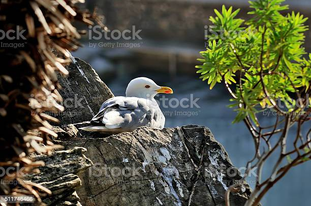 Photo of adult seagull larus sits on the rock