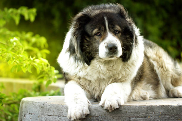 Adult Shepherd dog. Adult Shepherd dog. sheepdog stock pictures, royalty-free photos & images