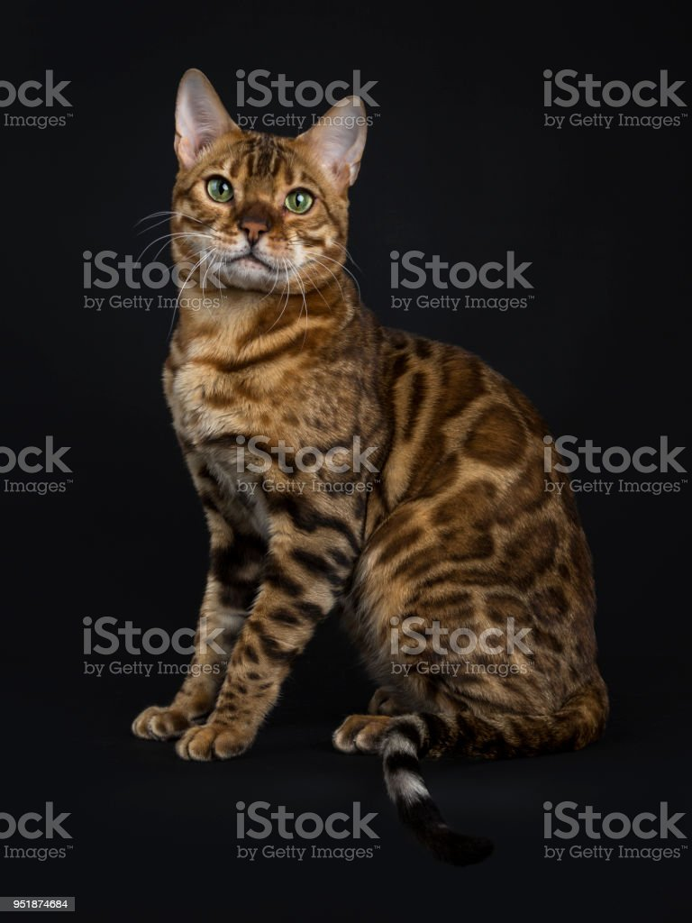 Adult shiny male with green eyes bengal cat sitting side ways and looking straight in camera isolated on black background stock photo