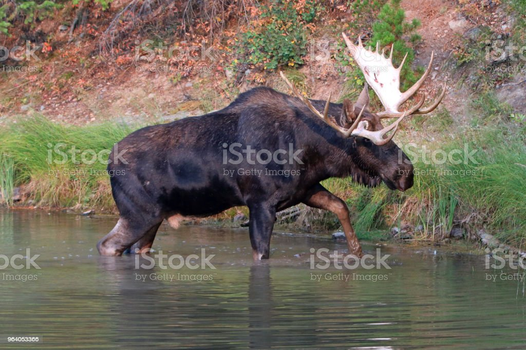 Adult Shiras Bull Moose walking near shore of Fishercap Lake on the Swiftcurrent hiking trail in the Many Glacier region of Glacier National Park during the 2017 fall fires in Montana United States - Royalty-free 2017 Stock Photo