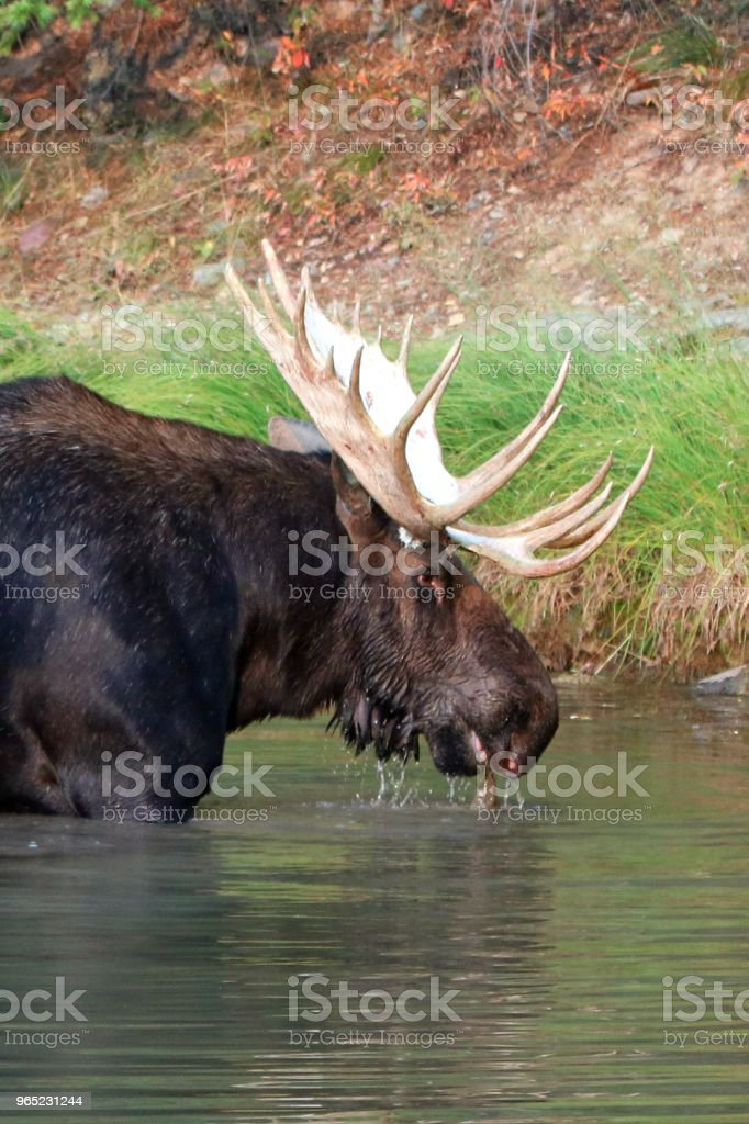 Adult Shiras Bull Moose walking near shore of Fishercap Lake on the Swiftcurrent hiking trail in the Many Glacier region of Glacier National Park during the 2017 fall fires in Montana United States royalty-free stock photo