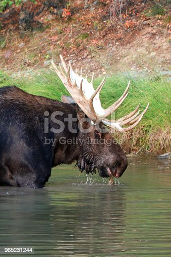 Adult Shiras Bull Moose Walking Near Shore Of Fishercap Lake On The Swiftcurrent Hiking Trail In The Many Glacier Region Of Glacier National Park During The 2017 Fall Fires In Montana United States Stock Photo & More Pictures of 2017
