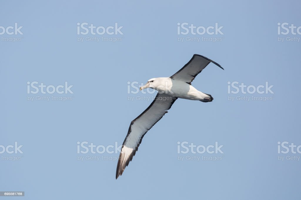 Adult Shy Albatross in flight stock photo