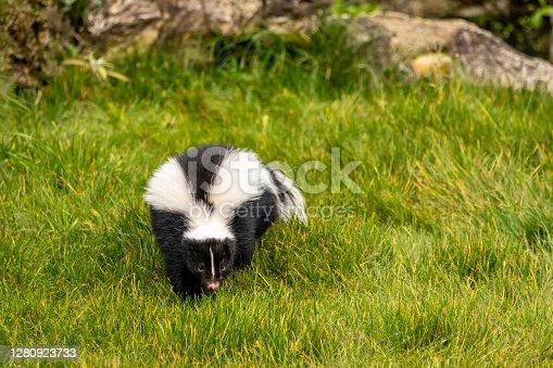 Adult Skunk (Mephitidae) in grass