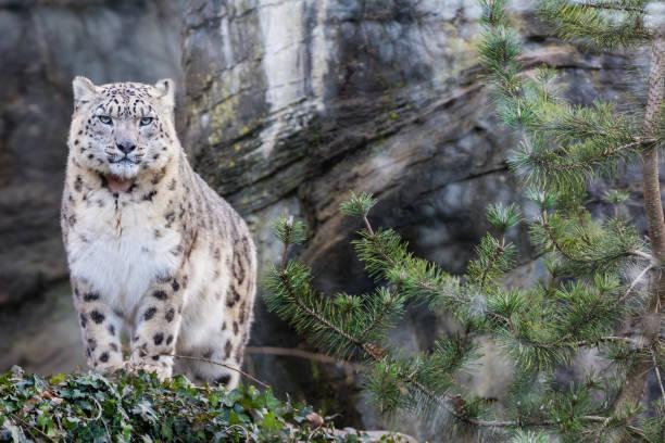 Adult snow leopard standing on rocky ledge picture id952092510?b=1&k=6&m=952092510&s=612x612&w=0&h=fv7pzhiqogrbiqsh81al x5x4rxu7hcmeokbu1m6ovs=