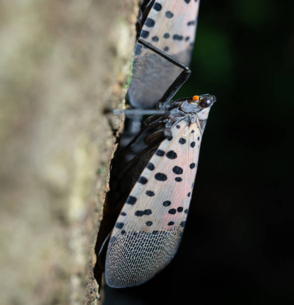 adult spotted lanternfly on tree, berks county, pennsylvania - spotted stock photos and pictures