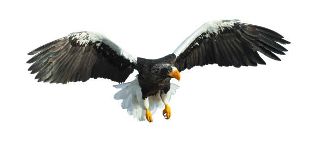 Adult Steller's sea eagle in flight. stock photo