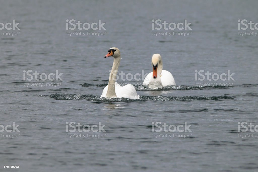 Adult swan displaying busking behaviour and driving out adult swam from territory stock photo