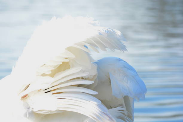 Adult swan grooming its white feathers on a lake in Winter stock photo