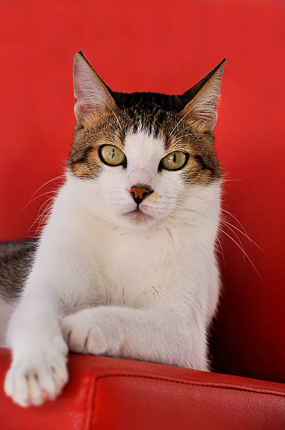 adult tabby cat is lookig stock photo