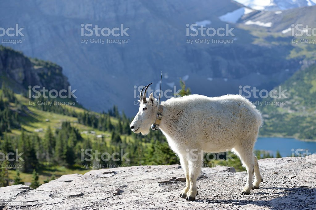 Adult tagged Mountain Goat stock photo
