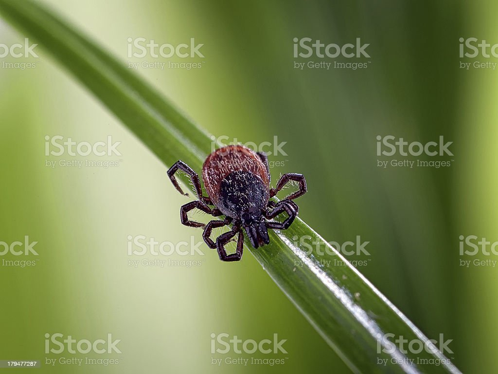 Adult tick of genus Ixodes scapularis on blade of grass stock photo