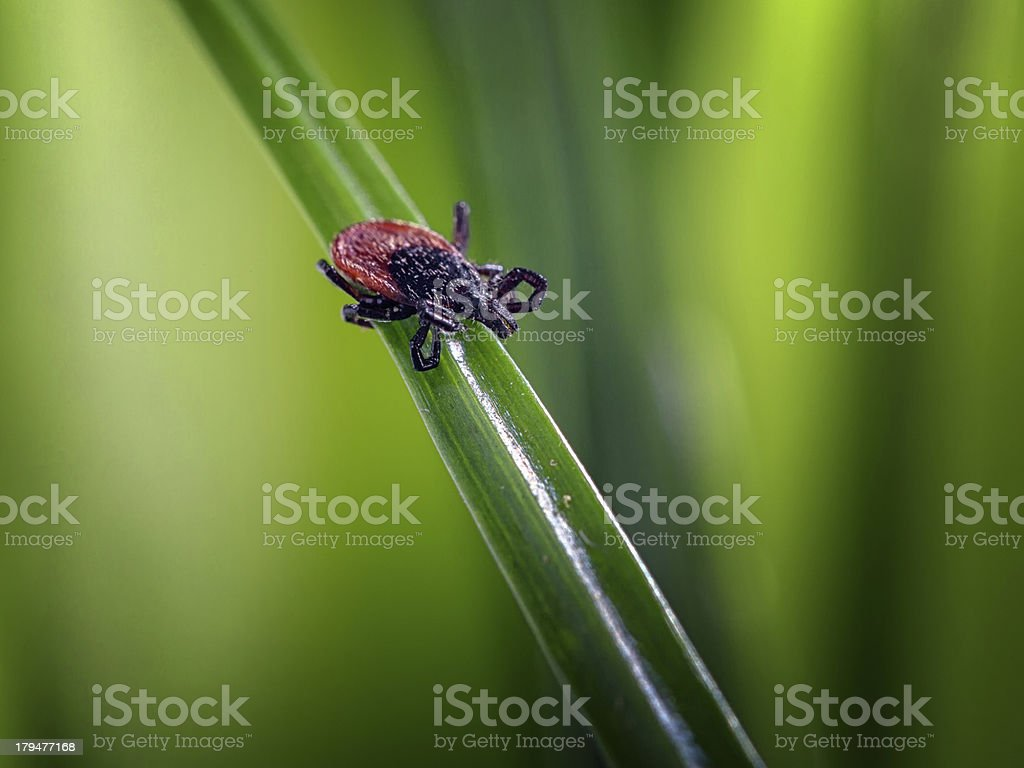 adult tick (Ixodes scapularis) royalty-free stock photo