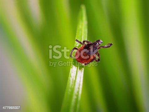 adult tick (Ixodes scapularis) on grass