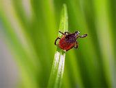 adult tick (Ixodes scapularis)