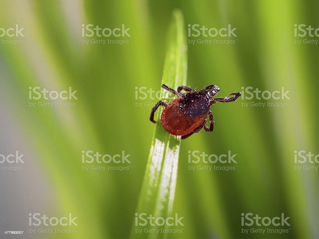 Erwachsene Häkchen (Ixodes scapularis) – Foto