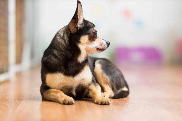 Adult Toy Terrier lies on the floor folding his paws in front of him stock photo
