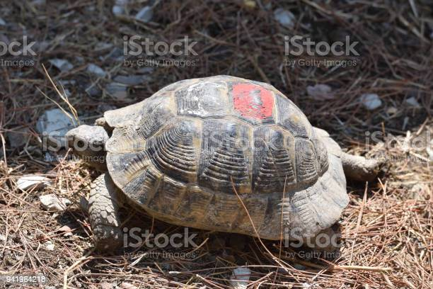 Adult turtle crawls on the ground with dry grass picture id941964218?b=1&k=6&m=941964218&s=612x612&h=zz3y5vf3ho41pkyrql5vm13utnqwws35ms3wgkv4cpc=