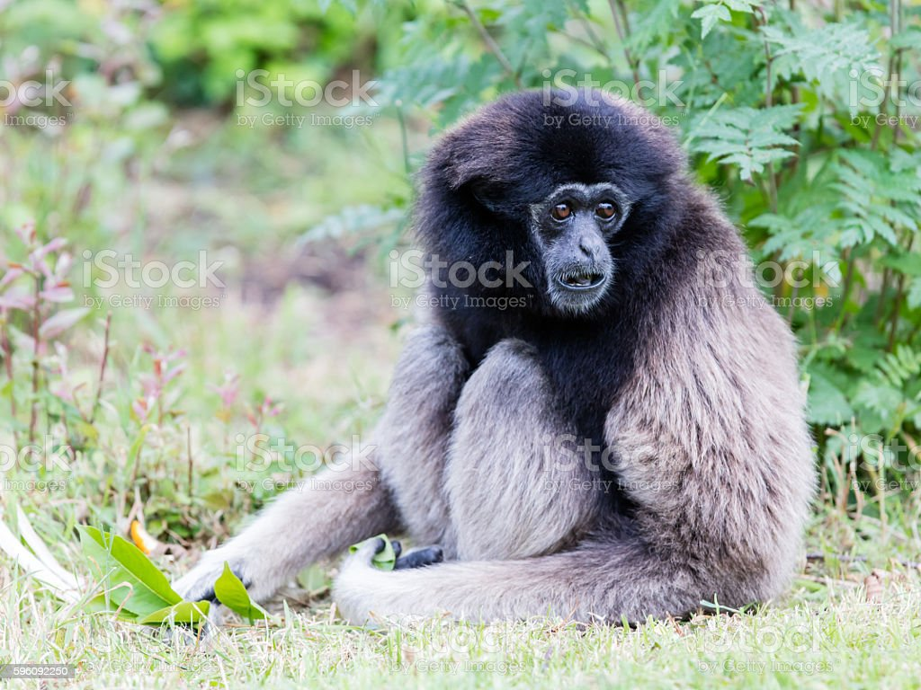 Adult white handed gibbon royalty-free stock photo