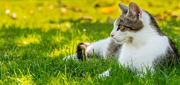 Adult white-tabby cat rests in autumn garden stock photo
