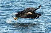Adult White-tailed eagles fishing. Blue Ocean Background. Scientific name: Haliaeetus albicilla, also known as the ern, erne, gray eagle, Eurasian sea eagle and white-tailed sea-eagle. Natural habitat