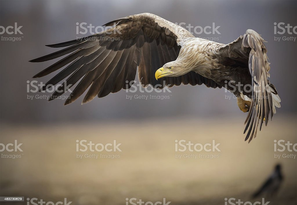 Adult white-tailed sea eagle in flight stock photo
