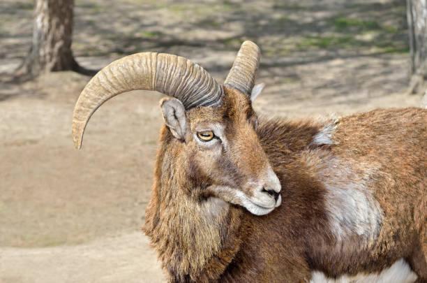 erwachsenen wilden männlichen mufflon auf der weide - steinbock mann stock-fotos und bilder