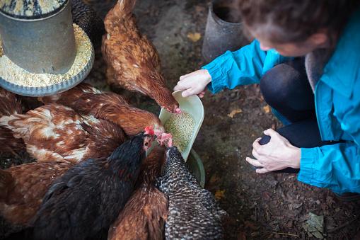 Adult Woman Feeding Her Chicken in Chicken Coop
