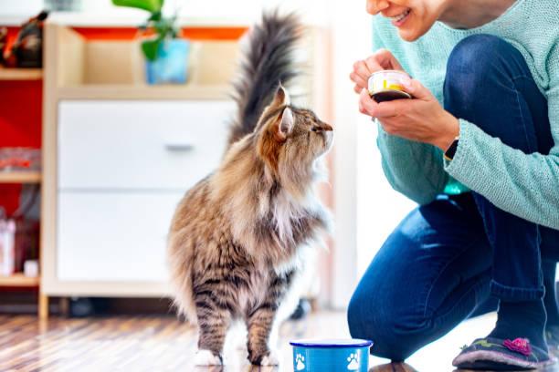 adult woman feeding her siberian cat - lata comida gato imagens e fotografias de stock