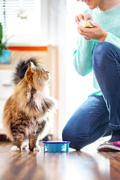 adult woman feeding her siberian cat with can food - lata comida gato imagens e fotografias de stock