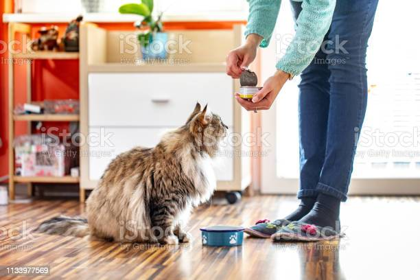 Adult woman feeding her siberian cat with can food picture id1133977569?b=1&k=6&m=1133977569&s=612x612&h=cj7qhhttxql zokwulhb6h1o7okkuxn9wlujwe5mt24=