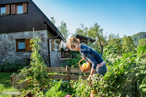 Adult Woman Harvesting Vegetables and Gardening in Her Organic Vegetable Garden in Remote Location.
