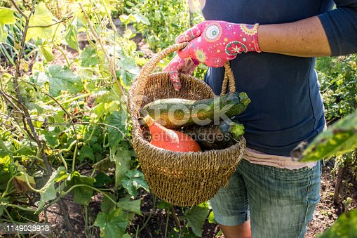Adult Woman Holding Basket With Harvested Homegrown Zucchini and Squash Vegetables.