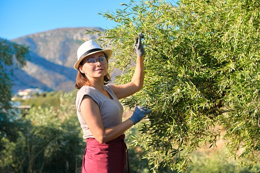 628409126 istock photo Adult woman holds in her hand branch with an olive tree 1250058676