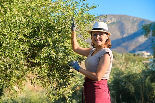 628409126 istock photo Adult woman holds in her hand branch with an olive tree 1253437917