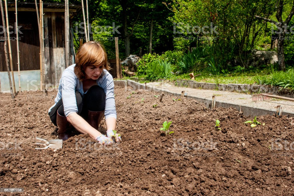 Adult Woman Planting Zucchini In Vegetable Garden stock photo