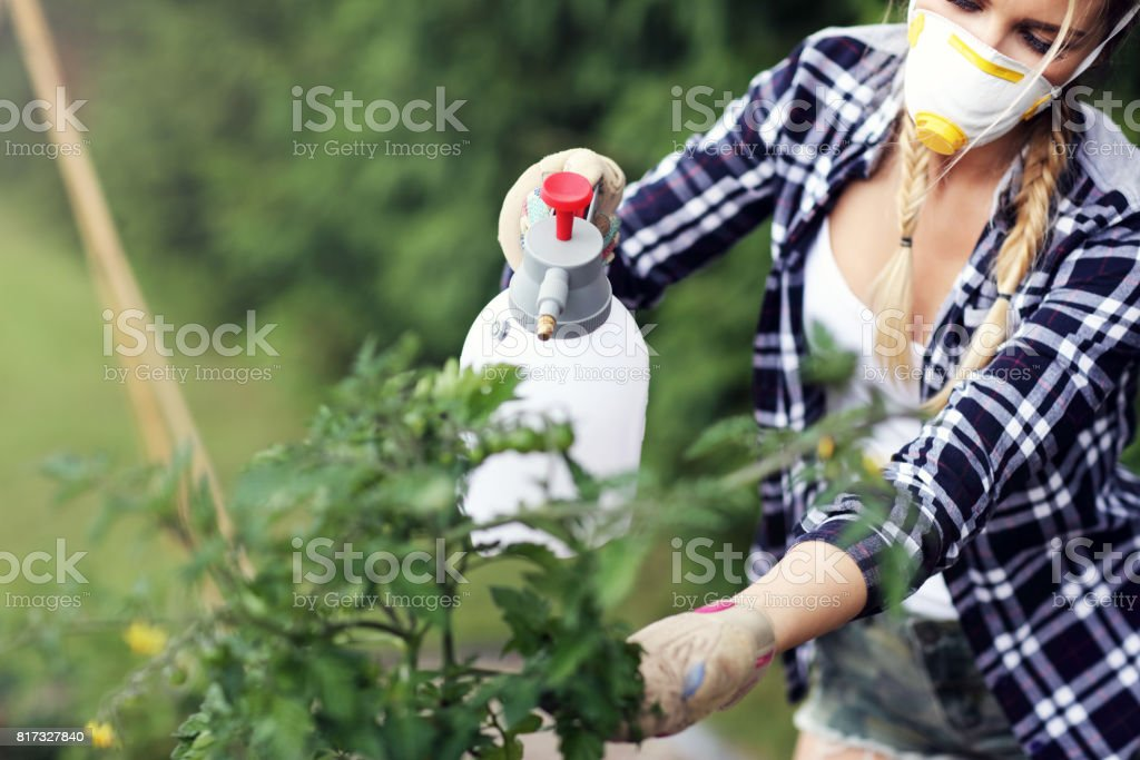 Adult woman spraying plants in garden to protect from diseases stock photo