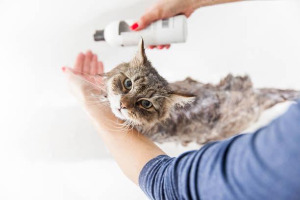 Adult woman washing siberian cat in bathtub picture id912720310?b=1&k=6&m=912720310&s=612x612&w=0&h=mufcyxfn2mrvubviestlsnsir3v3ke2twtxkul62xia=