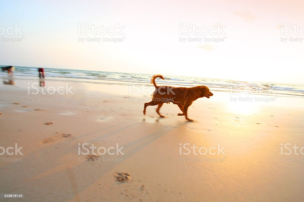 An adventure dogs running on the beach with sunset. -- motion blur...